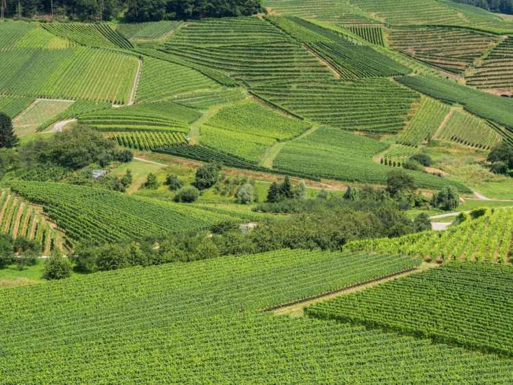 kappelrodeck, foret noire, schwarzwald, blackforest, vignes
