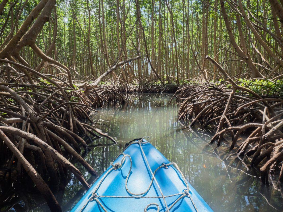 explorer la mangrove en kayak