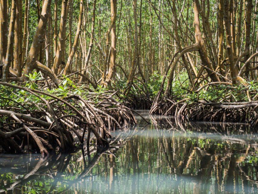 mangrove, palétuviers, guadeloupe, antilles