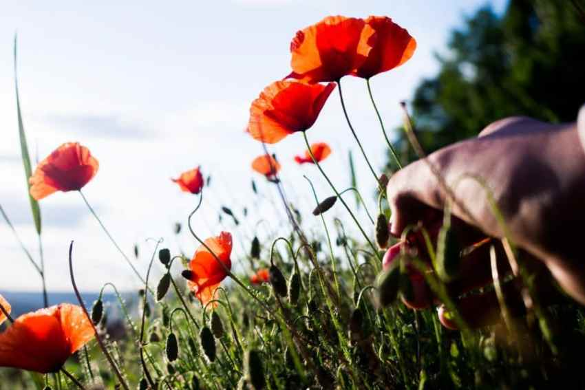 alsace, moissons, coquelicots
