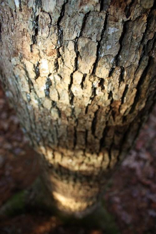 Natural World - Oak Tree