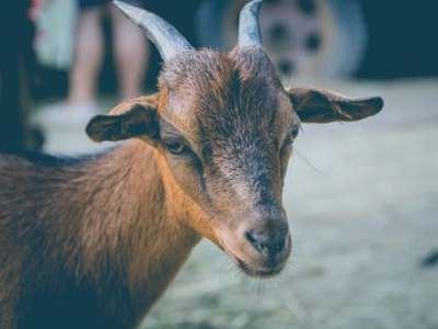 Goat for sale in Nigeria and the price of Goat
