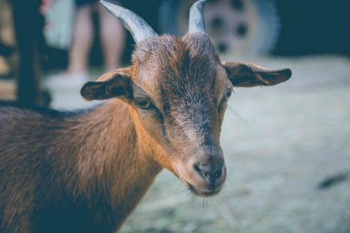 Goat for sale in Nigeria