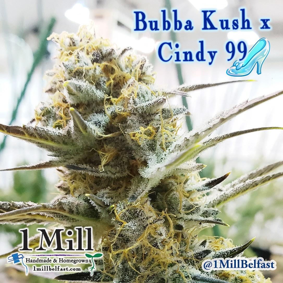 Bubba Kush x Cindy 99