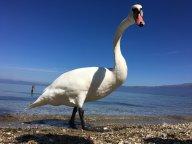 Swan on Lake Ohrid