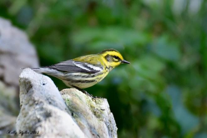townsend's warbler 2