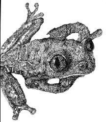 Dotty Froggy