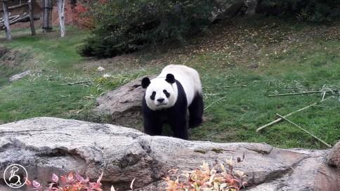 Yan Zi, panda du zoo de Beauval