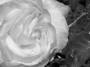 1 Picture 1 Word Rose Story White effect