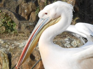 Pelican attitude