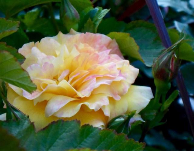 Rose4Tomorrow (14)