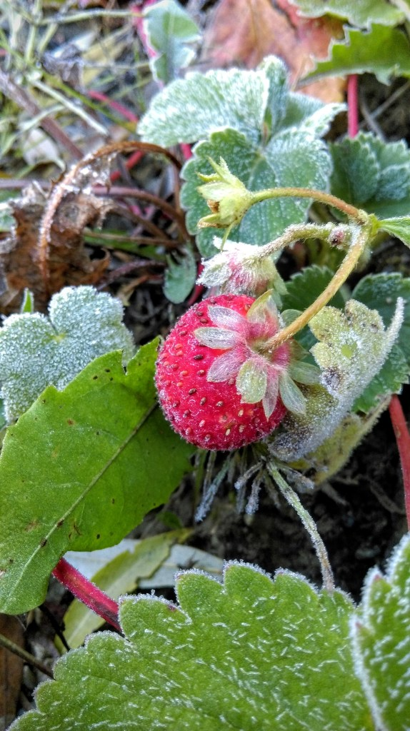 Frozen strawberry