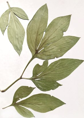 BotanicalsForPrinting1