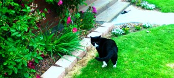 Very large black cat with white tuxedo markings, white nose and white stockings. Cat is looking behind himself.