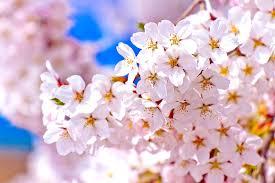 【長野市】桜の結婚指輪3選をご紹介✿ブルージュ一真堂