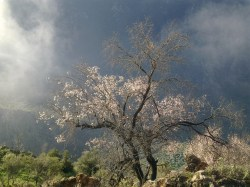 ALMOND TREE IN BLOOM 1