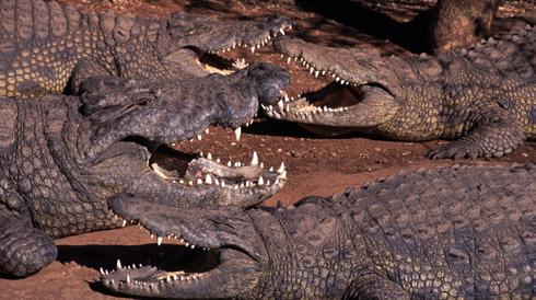 Что значит крокодил по сонникам и как получить выгоду из этого сна. Сонник: крокодилы. Что значит крокодил во сне для женщины? Толкование снов