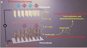 This break-through artificial photosynthesis systems has four general components: (1) harvesting solar energy, (2) generating reducing equivalents, (3) reducing CO2 to biosynthetic intermediates, and (4) producing value-added chemicals.