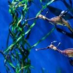 Tropical Leafy Sea Dragon