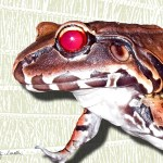 The Ruby-Eyed Frog lives deep in the Amazonian rain forest.