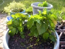 12 June Herbs