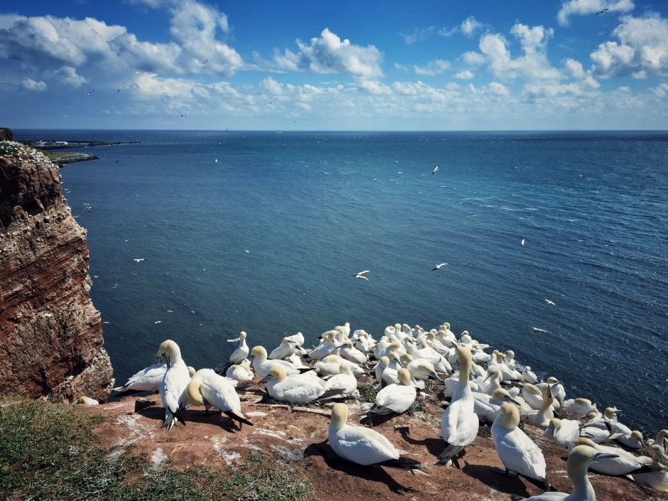 Helgoland Silbermöwen