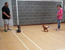 Ginger learning to approach another dog calmly.