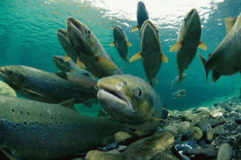 Atlantic salmon swimming upriver to spawn