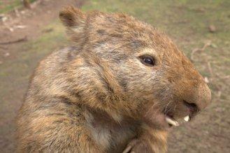 The wombat that bit Flora
