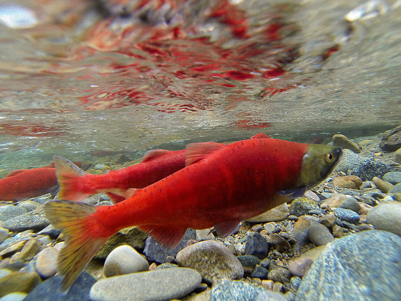 Planned Kokanee Documentary To Tell The Story Of The
