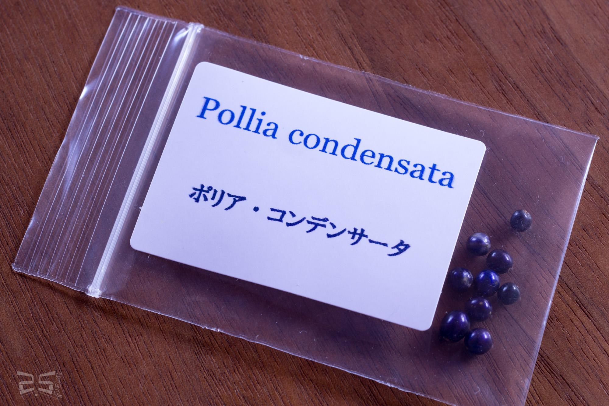 ポリア・コンデンサータ(Pollia condensata)の種子購入