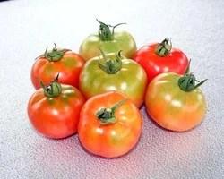Tomato Htm