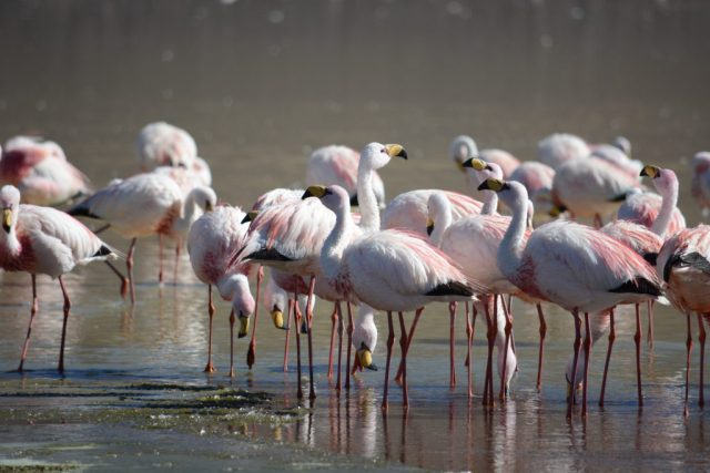 Flamants roses, Tupiza