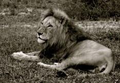 Setswana: Tau. English: African Lion. Scientific: Panthero leo
