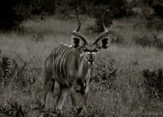 Setswana: Tholo. English: Kudu. Scientific: Tragelaphus strepsiceros.