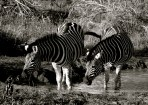 Setswana: Pitse ya naga English: Burchell's Plains Zebra Scientific: Equus quagga burchellii