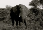 Setswana: Tlou English: African Elephant Scientific: Loxodonta africana