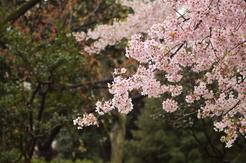 peach blossoms - r c peris