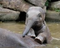 Elefantito en el agua