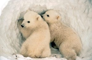 Hermosos cachorritos de oso polar