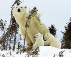 osa polar con sus tres oseznos