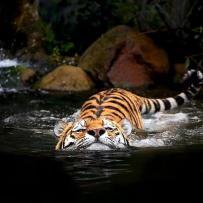 Tigre nadando foto de L'incanto d'amore dei poeti estinti.