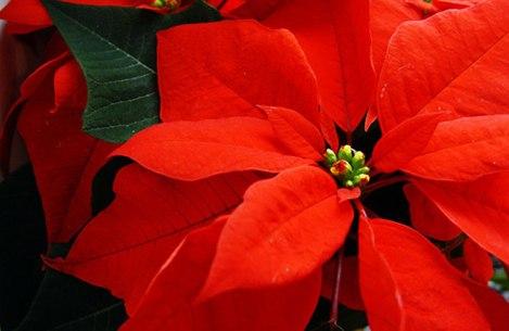 flores-de-poinsettia-navidad