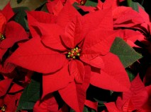 poinsettia-flower-bright-red-close-up