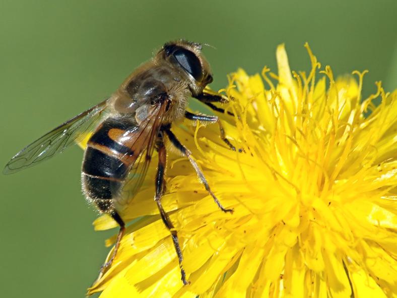 ¿Qué pasará con la economía (Y la Humanidad) si desaparecen las abejas?