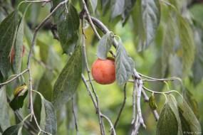 Zunächst durch landwirtschaftlich geprägtes Gelände: hier eine Kaki-Frucht am Baum.