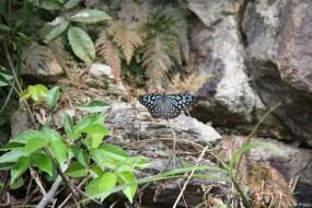 Der Ceylon Blue Glassy Tiger, wie eine Tafel verrät