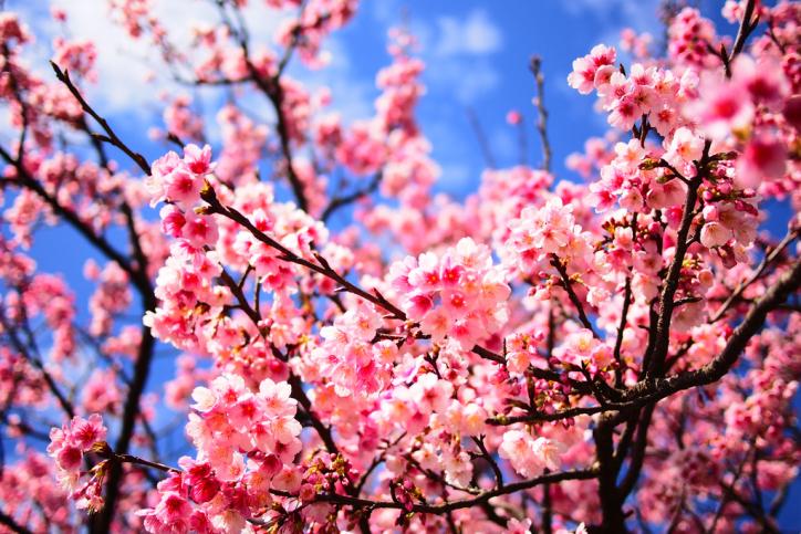 櫻花 | 20156a03cyh