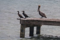 Cormorants and Brown Pelican