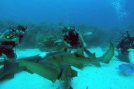 Divers playing with the sharks